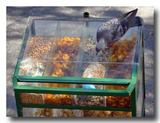人間様用のナッツをケース上から食べようとする鳩