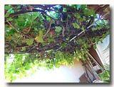 葡萄棚 トリニダーの家庭の葡萄棚