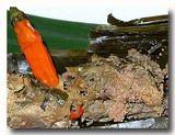 テロール・カカップ・ウォク・ダウン 鯛の卵のササ包み焼き あっぷ
