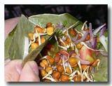 ダール・ケ・アンクール 豆もやしのサラダ 発芽豆のサラダ 掬ったところ