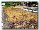 コットニーやオゴノリの加工場 紅藻がほとんど乾燥完了