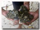シャコ貝の身 3個分