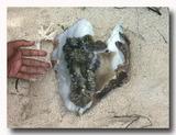 シャコ貝の貝柱を取ったところ