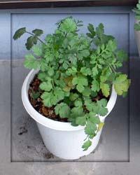 パクチーの植木鉢